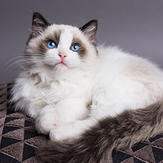 chat ragdoll qui se repose